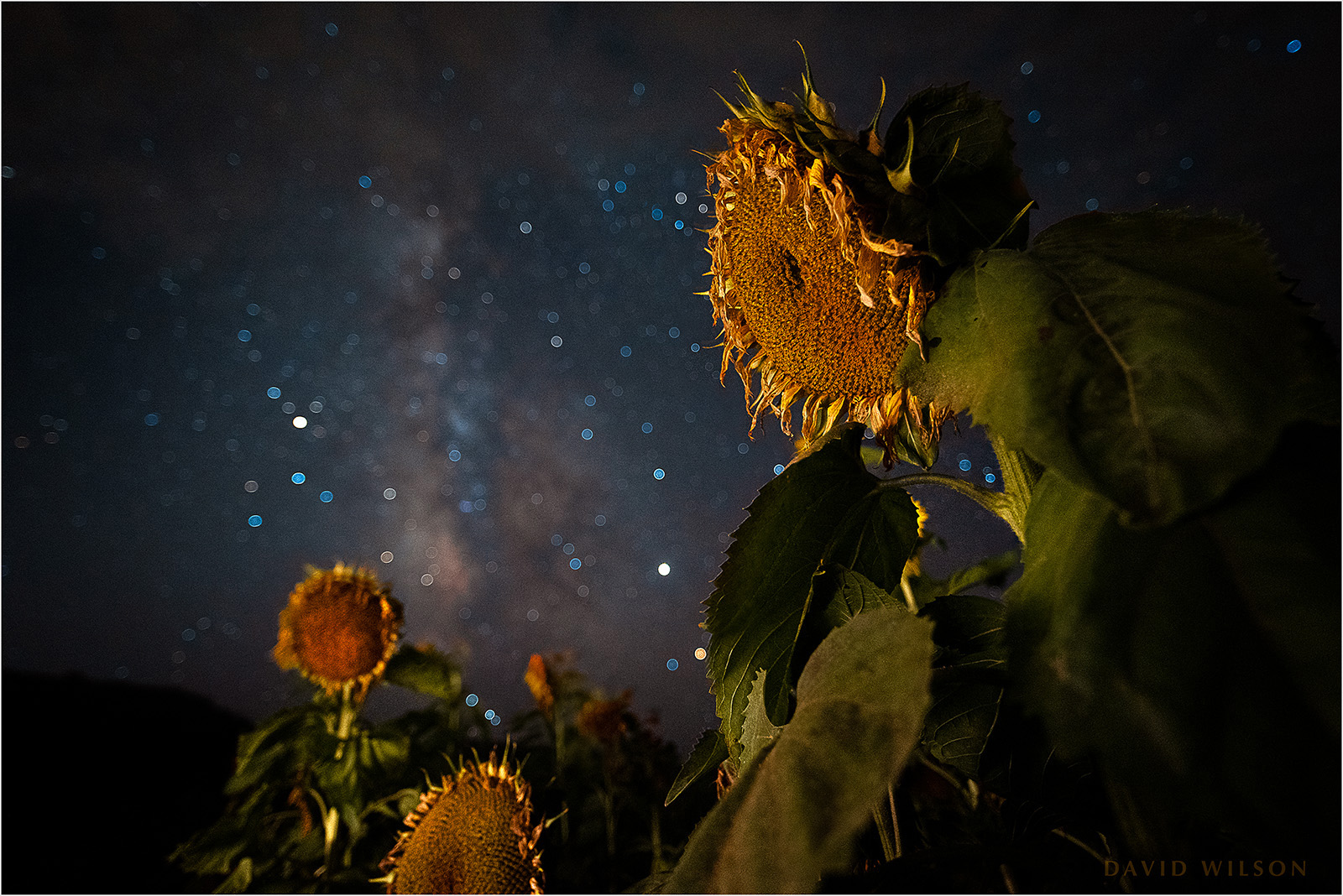 Fading sunflowers stand watch through the night.