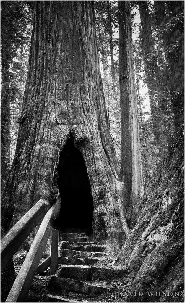 Stone stairs lead up into an opening in a great redwood tree.