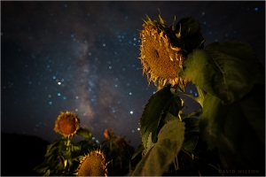 Aging sunflowers illuminated beneath the starry night sky.