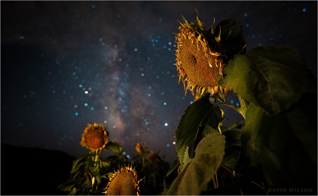 Aging sunflowers beneath the Stars