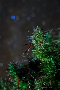 A cannabis bud rises into the night, stars glittering overhead. Humboldt County, California