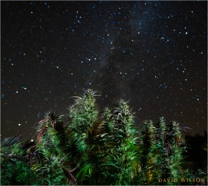 The Milky Way rises like mist behind growing cannabis buds in Humboldt County, California