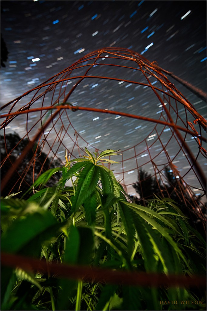 A young cannabis plant beneath the stars